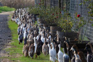 A trained duck-herd of approximately 1000 Indian Runner ducks pass the manor house, on their way to the vineyards, as tourists watch at Vergenoegd wine estate on June 3, 2016 near Stellenbosch. The ducks eat snails and other pests which threaten the grapevines, allowing the farm to avoid using toxic pesticides, and they also fertilise the ground with their droppings. The ducks sleep in an enclosed pen, and are herded out to the vineyards in the day, then for a swim in the dam, and then back to their pen in the late afternoon. / AFP PHOTO / RODGER BOSCHRODGER BOSCH/AFP/Getty Images ** OUTS - ELSENT, FPG, CM - OUTS * NM, PH, VA if sourced by CT, LA or MoD **